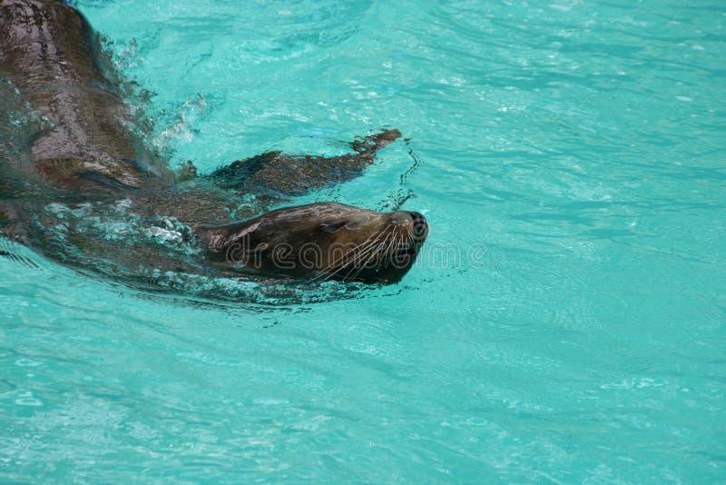 Robben-Schwimmen stockfotos