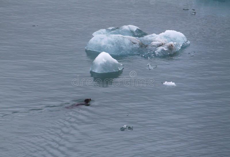 Robbenschwimmen zu einem Eisberg stockbild