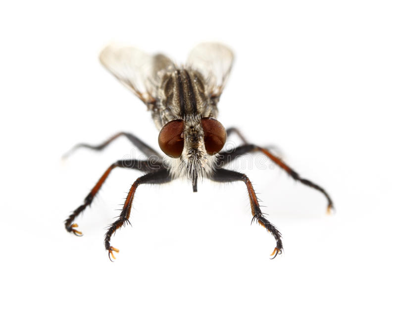 Download Robber Fly stock image. Image of pest, isolated, robber - 20415593
