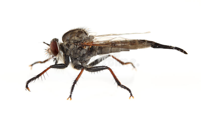 Download Robber Fly stock photo. Image of wildlife, view, compound - 20415598