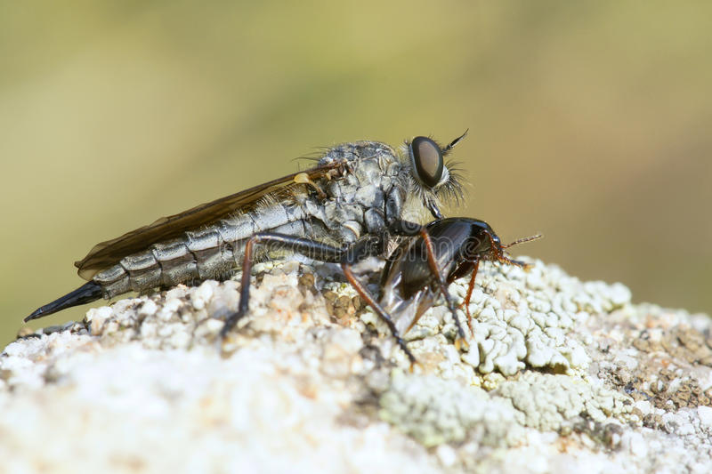 Download Robber Fly Stock Photo - Image: 21312070