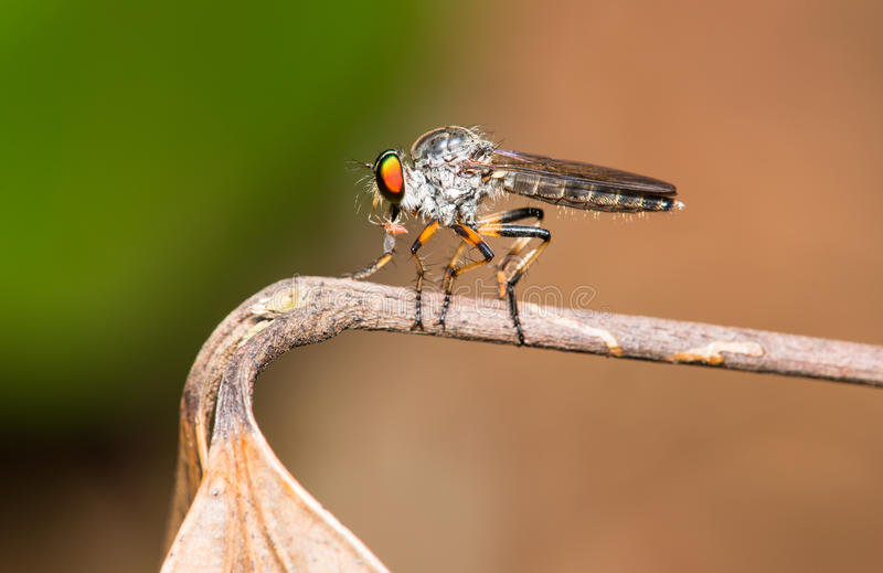 Download Robber Fly stock photo. Image of insect, robber, hunter - 25314572