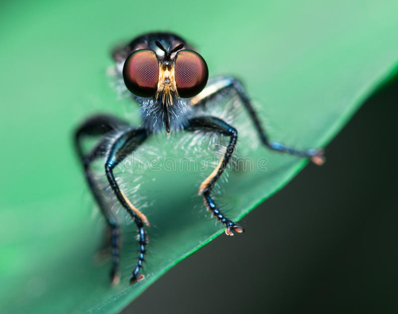 Download Robber Fly stock photo. Image of flies, insect, predator - 26632112