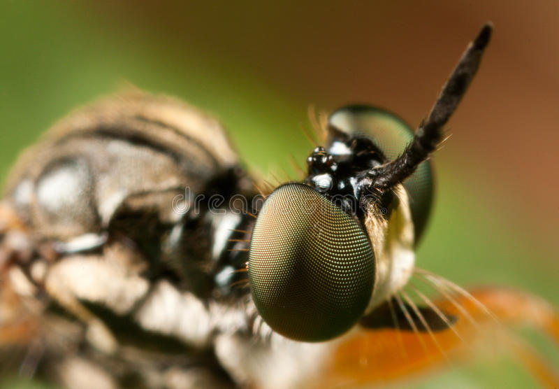 Download Robber fly stock image. Image of fauna, garden, closeup - 28941327
