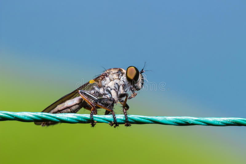 Robber Fly, assassin fly Asilidae stock image