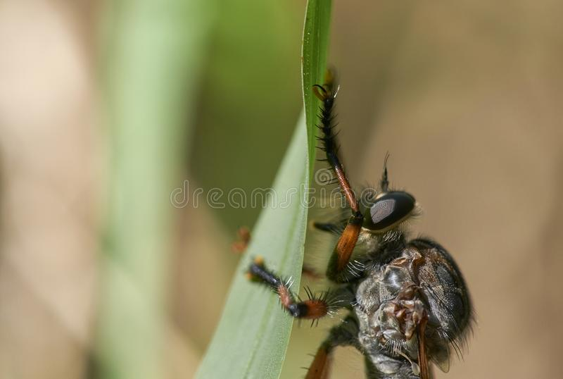 Robber Fly Clinging to Blade ofGrass - Macro stock photos