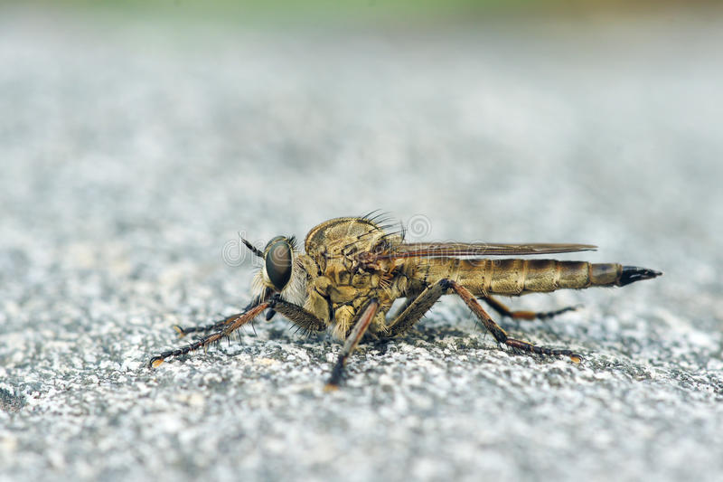 Download Robber Fly Royalty Free Stock Photos - Image: 31927278