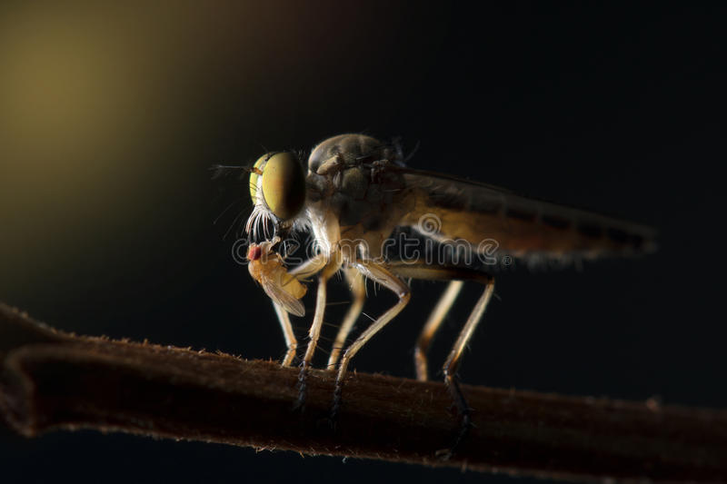 The Robber fly close up in Thailand. stock image