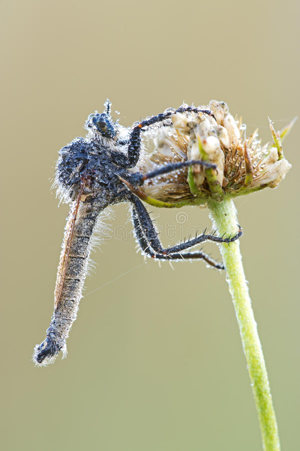 Robber fly covered with dew drops stock photo