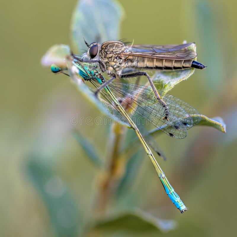 Robber fly with damselfly prey stock photography