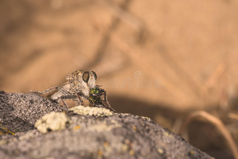 Download Robber Fly Eating its Prey stock photo. Image of close - 72226730
