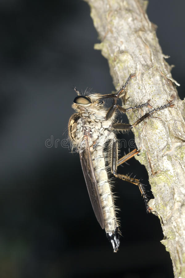 Robber Fly. Extreme Close-up. Royalty Free Stock Photos