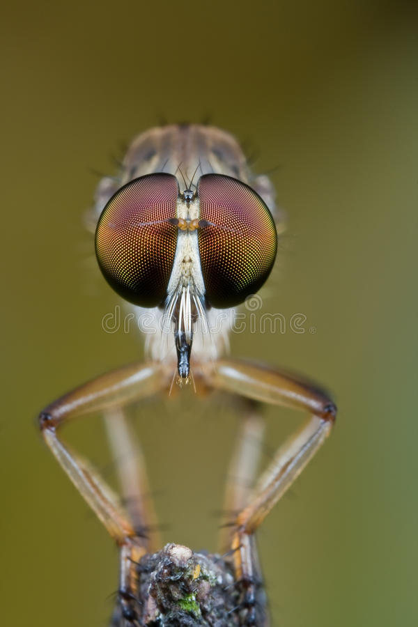 Robber fly face to face stock images
