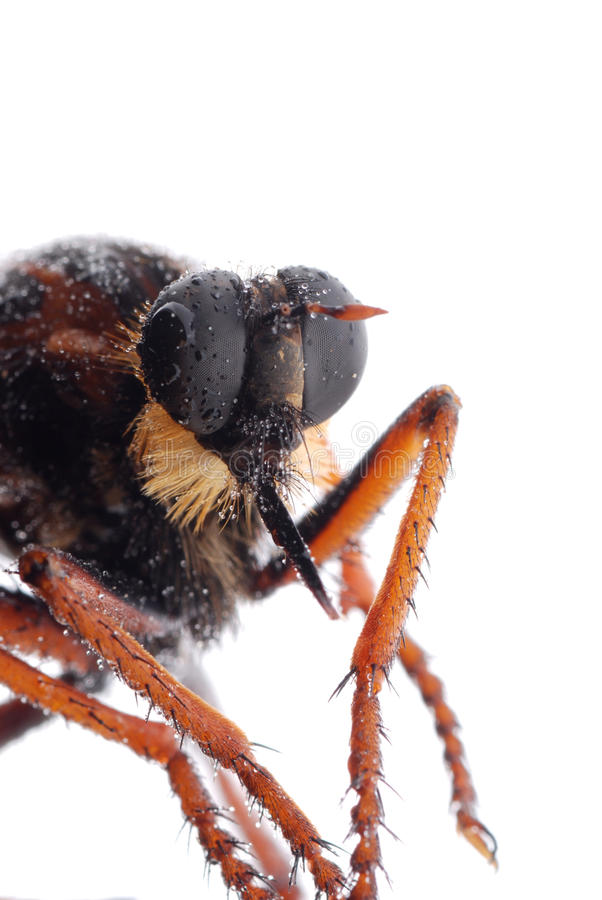 Download Robber fly isolated stock image. Image of furry, background - 16362115