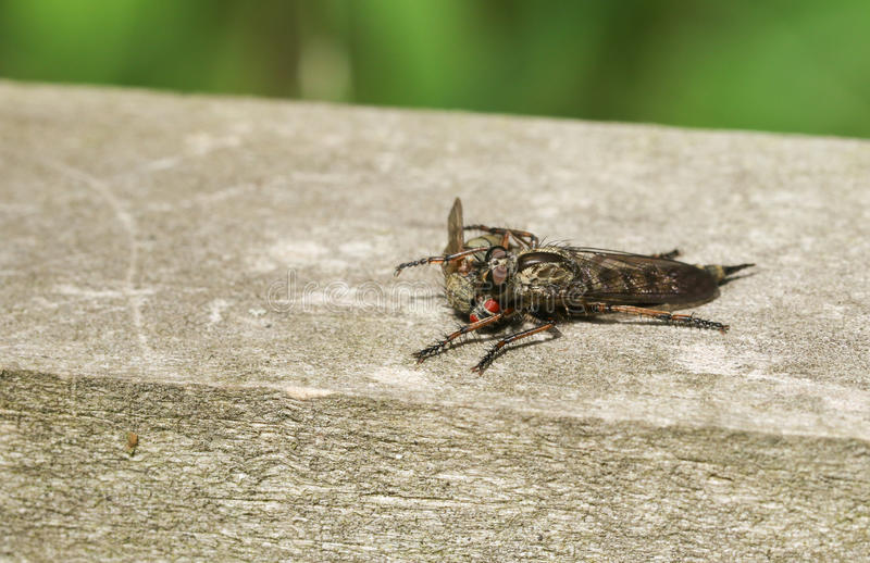 A Robber Fly Machimus cingulatus feeding on a fly that it has just captured. stock photography