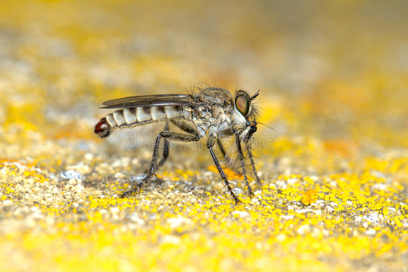 Robber fly Machimus sp. with prey stock photos