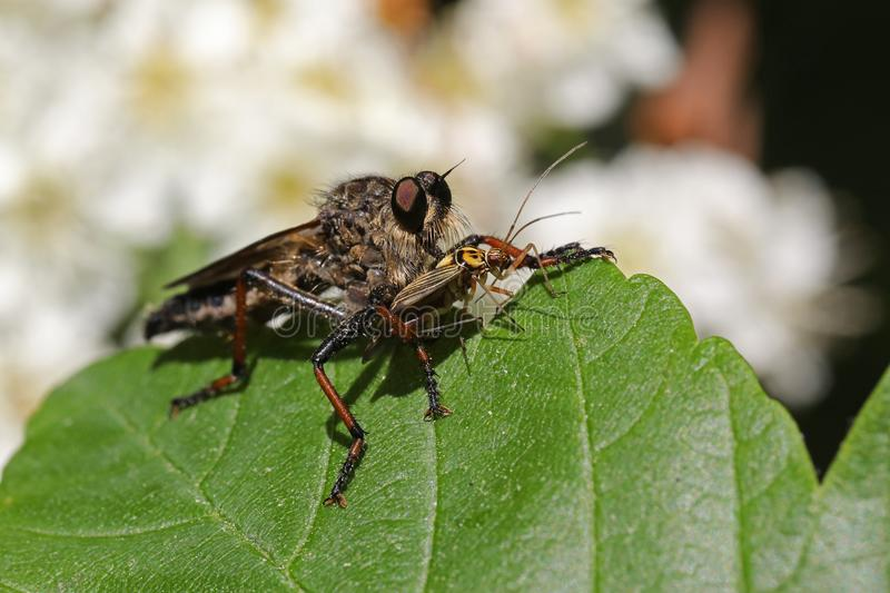 Robber fly. With prey and flowers in the background royalty free stock photo