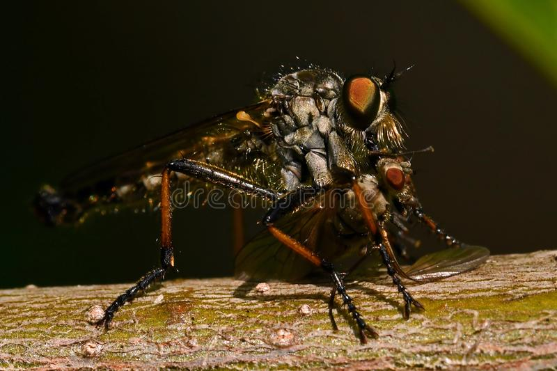 Robber fly Tolmerus atricapillus in close-up. Where it caught a prey .... a fly stock photo