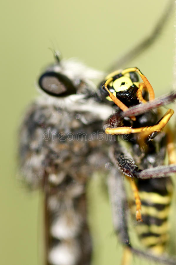 Robber fly and a victim royalty free stock photography