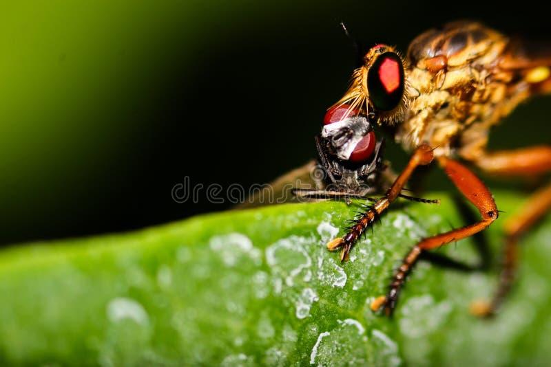 Robberfly с убийством стоковая фотография