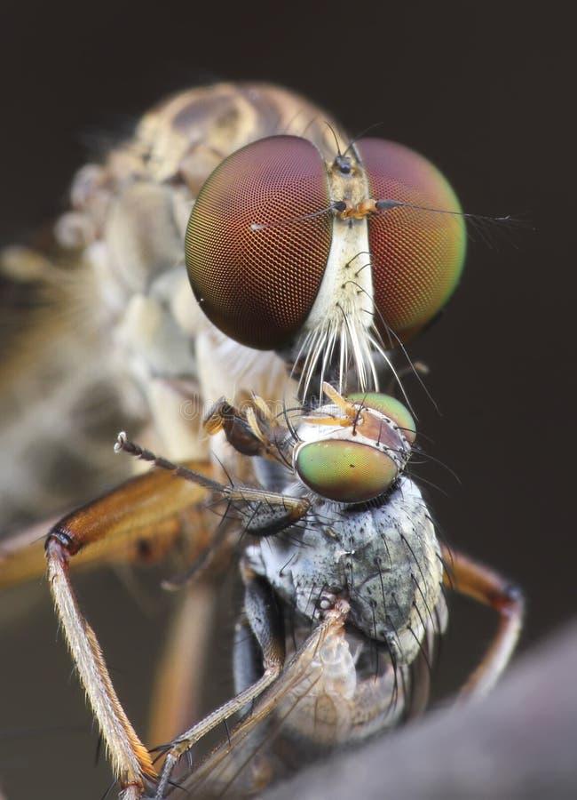 Robberfly imagem de stock