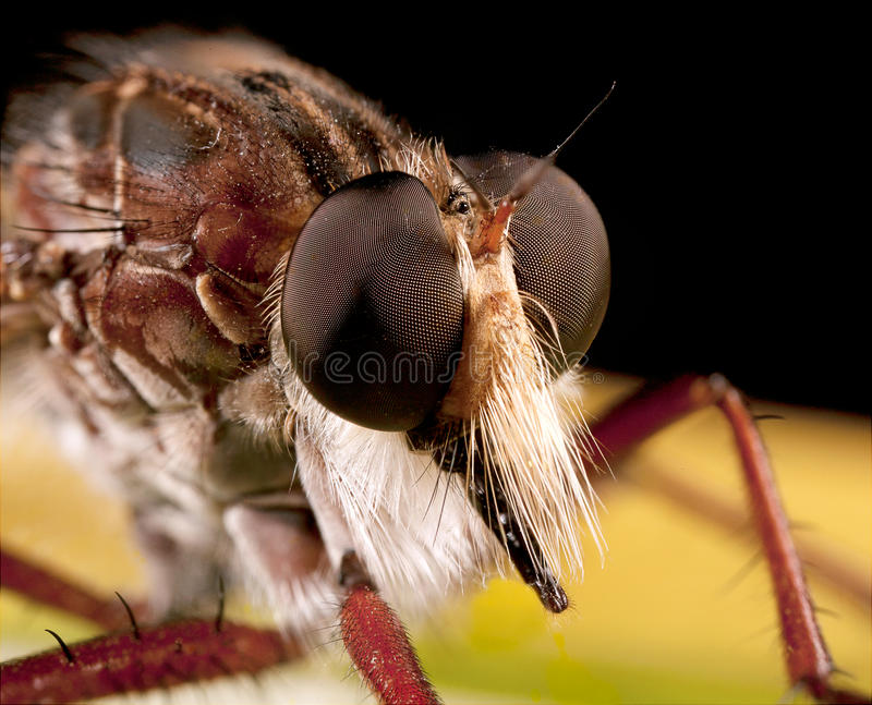 Download Robberfly stock image. Image of insect, detail, outdoor - 29115483