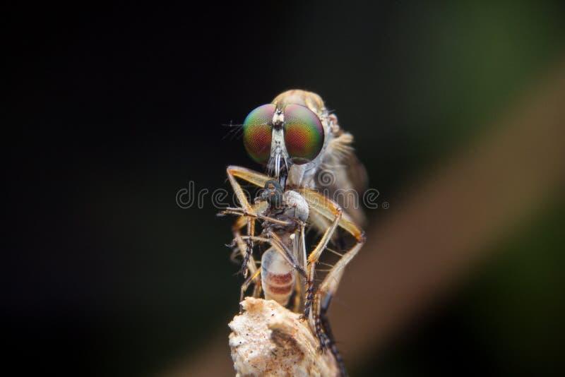 Robberfly photos libres de droits