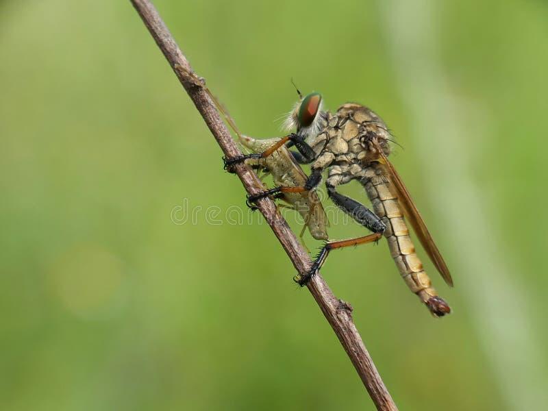 Robberfly con la presa foto de archivo