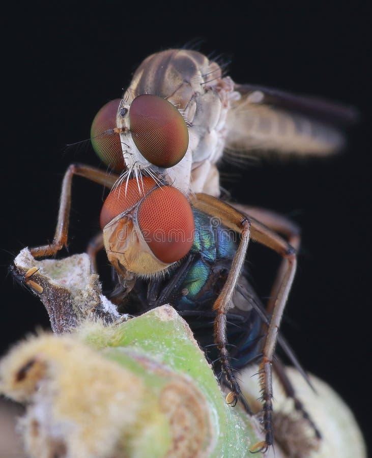Robberfly mangia fotografia stock