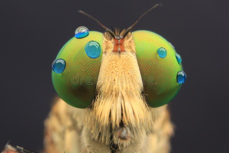 Robberfly med liten droppeögondetaljen arkivfoton