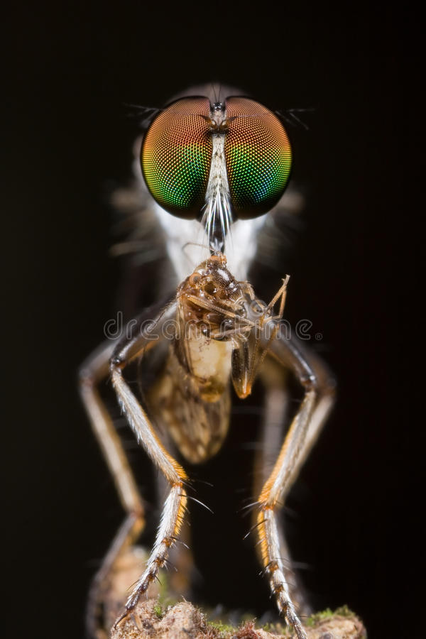 Free Robberfly With Prey - A Barkfly, Front View Stock Photo - 10884520