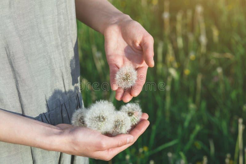 Robe de toile de port de femme se tenant au soleil tenante de belles fleurs blanches de pissenlit, l'espace de copie, herbe verte photos stock