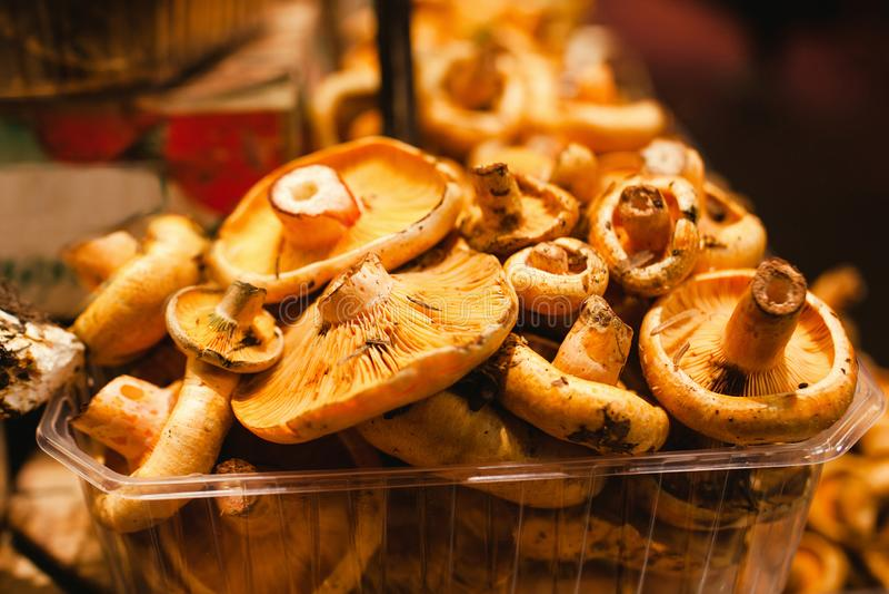 Robellons-Pilze oder rovellons Knospen stockbilder
