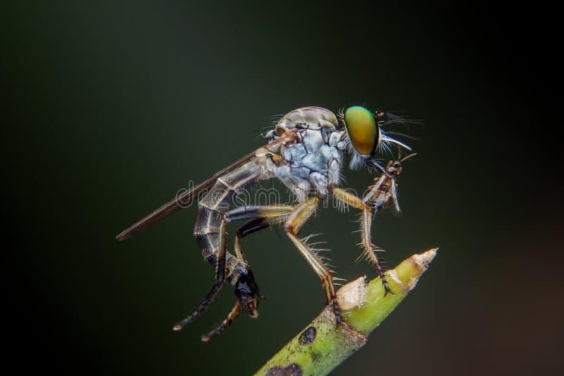 Roberfly 免版税库存照片