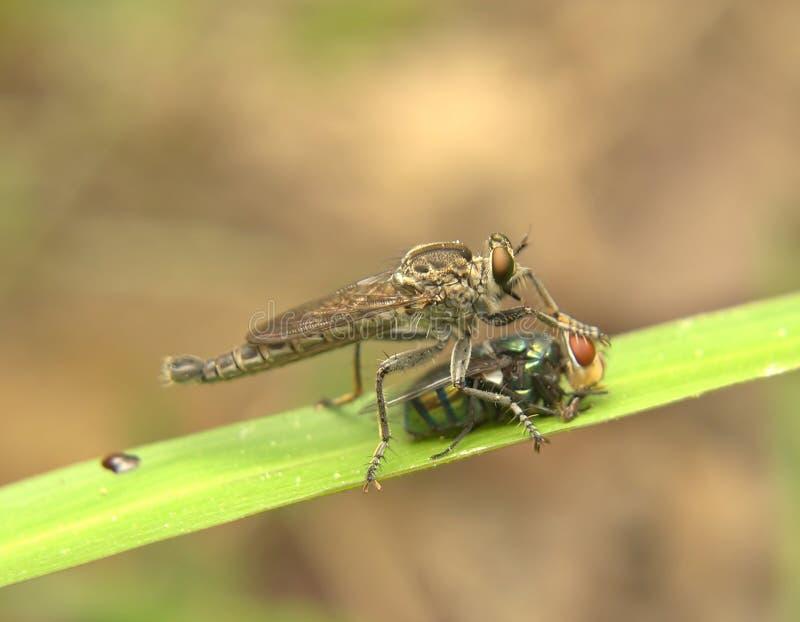 Roberfly 库存照片