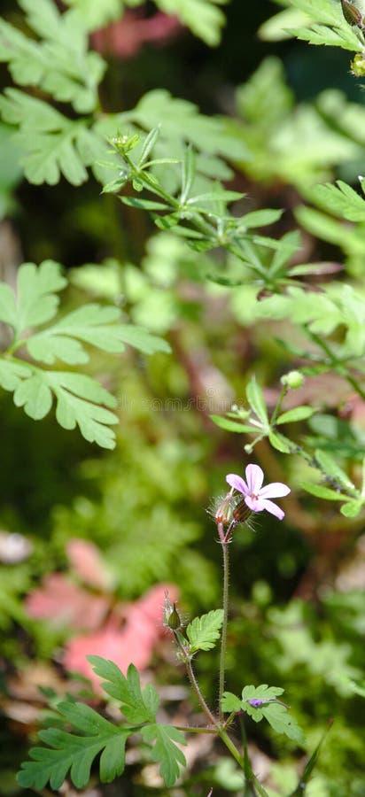 Robertianum γερανιών λουλουδιών χορτάρι-Robert στο δάσος στοκ φωτογραφία με δικαίωμα ελεύθερης χρήσης