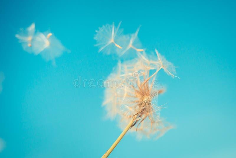 Robi życzenia pojęciu Wiosny lata tło Zmierzchów kolory i dandelion zbliżenie obrazy royalty free