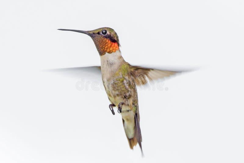 Robijnrode Kolibrie Throated stock afbeeldingen