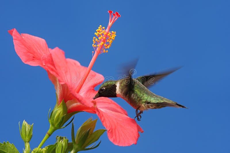 Robijnrood-Throated Kolibrie
