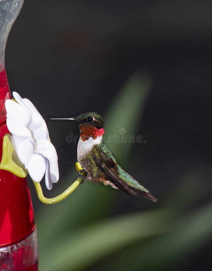 Robijnrood-Throated kolibrie bij voeder stock fotografie
