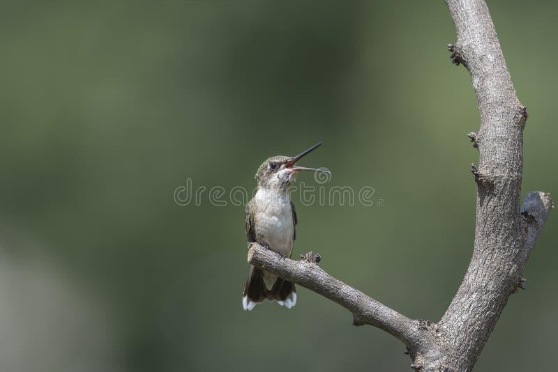 Robijnrood-Throated Kolibrie met zijn open die mond wordt neergestreken royalty-vrije stock afbeeldingen