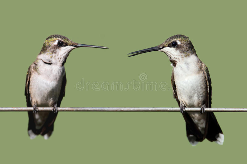 Robijnrood-Throated Kolibries stock foto's