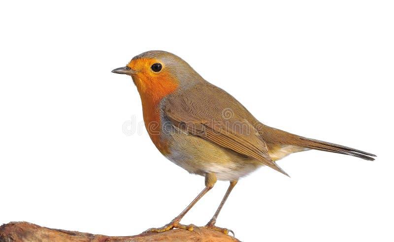Robin。 免版税库存照片