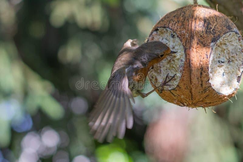 Robin à la station de alimentation de noix de coco photo libre de droits