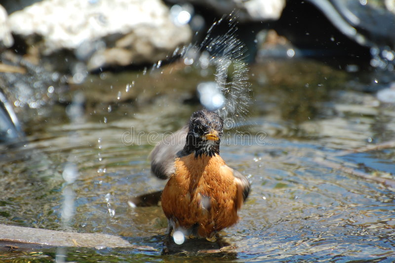 Robin éclaboussant l'eau photos stock