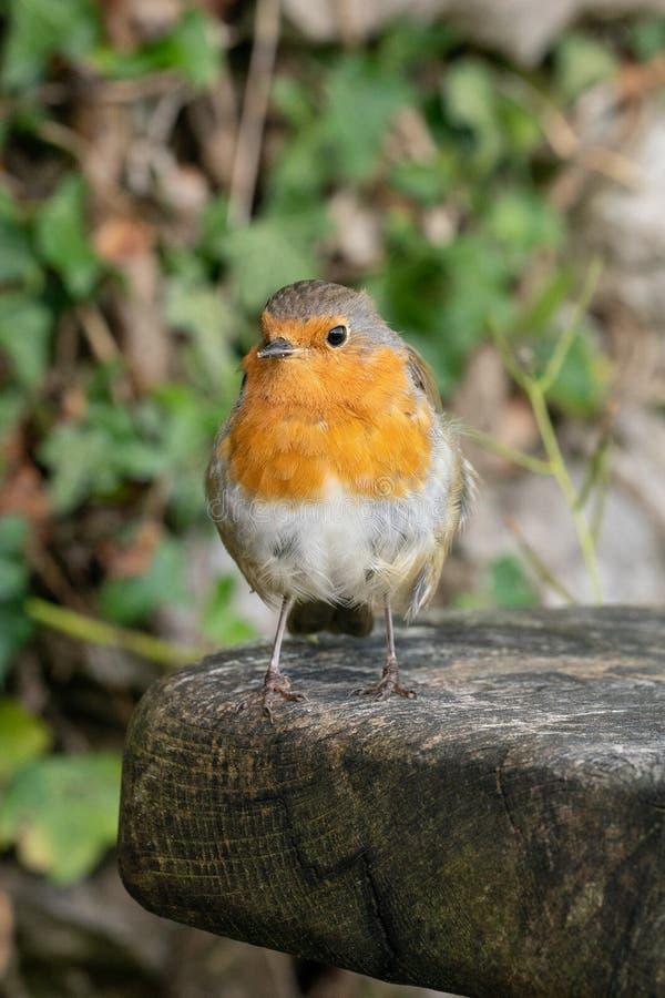 Robin που κάθεται σε ένα κούτσουρο στοκ εικόνες