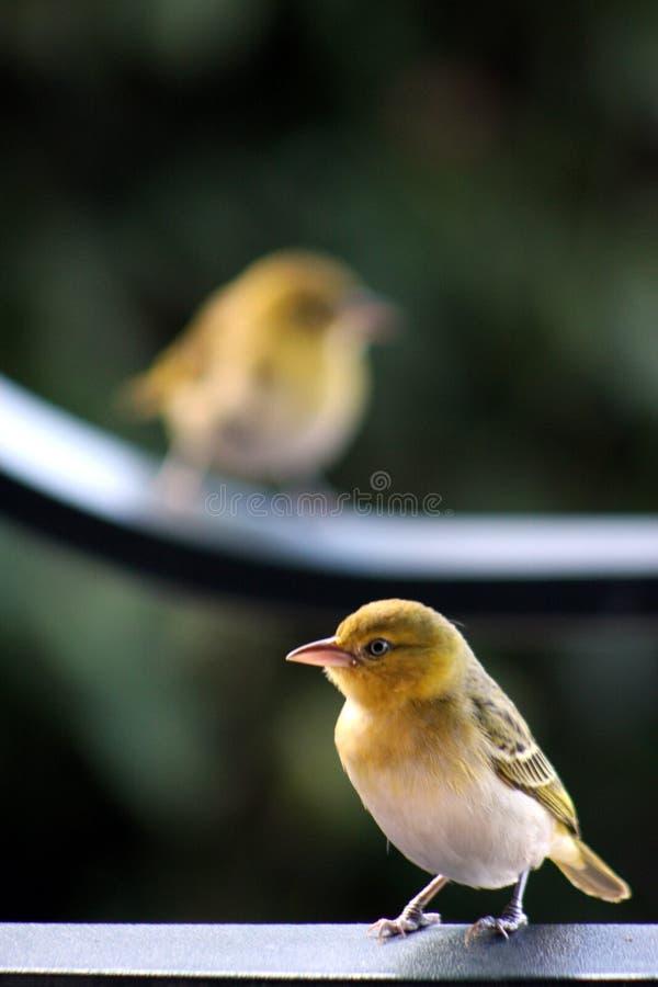 Robin που σκαρφαλώνει σε μια ράγα με το δεύτερο πουλί που θολώνεται στο υπόβαθρο στοκ εικόνες
