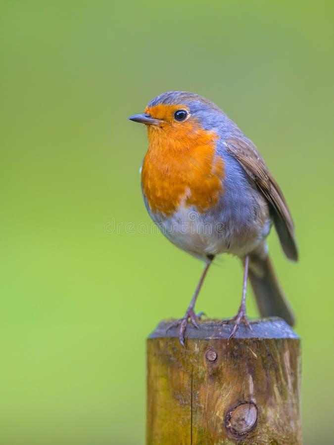 Robin που σκαρφαλώνει σε έναν πόλο στοκ εικόνες