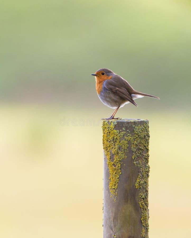 Robin στον πόλο στοκ φωτογραφίες με δικαίωμα ελεύθερης χρήσης
