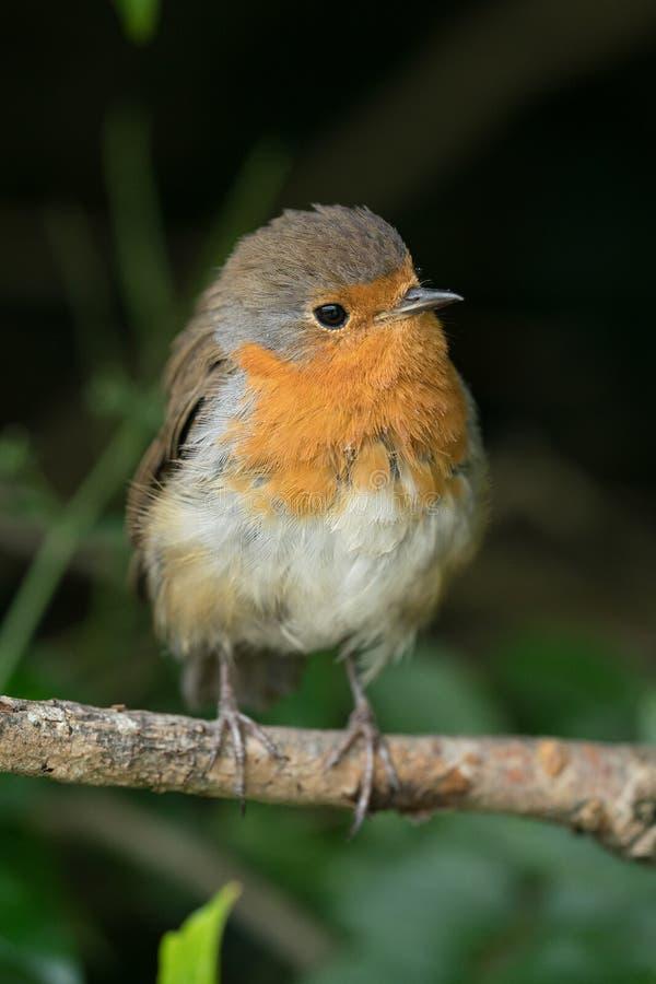Robin στο μικρό κλάδο στοκ εικόνες